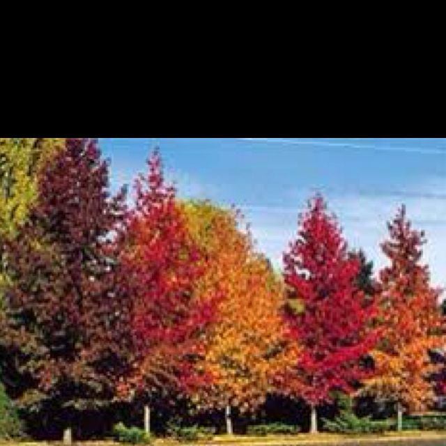 Beautiful Sweet Gum Trees Tree Seeds Deciduous Trees Sweet Gum