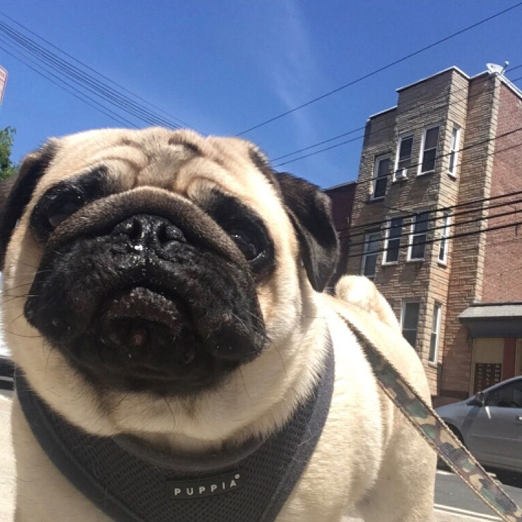 Rise Shine With Images Pug Obsessed Pugs Animals
