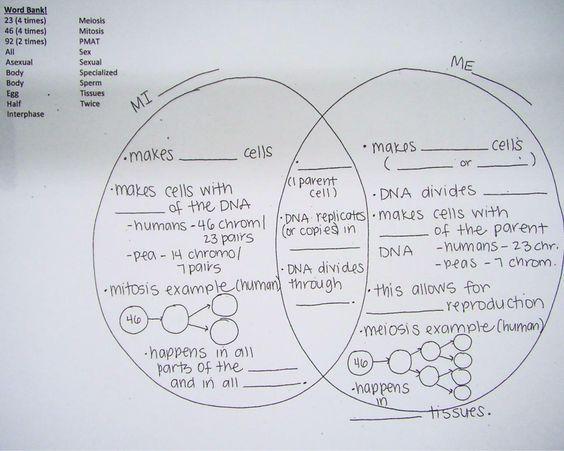 Section 11 4 Meiosis Worksheet Answers - worksheet