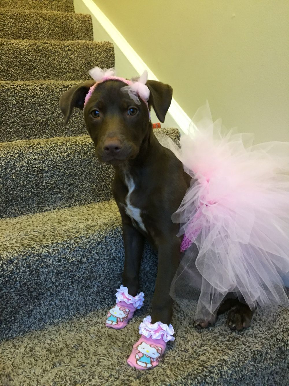 Dog Costume Pink Ballerina Tutu Bows Pitbulls In Tutus
