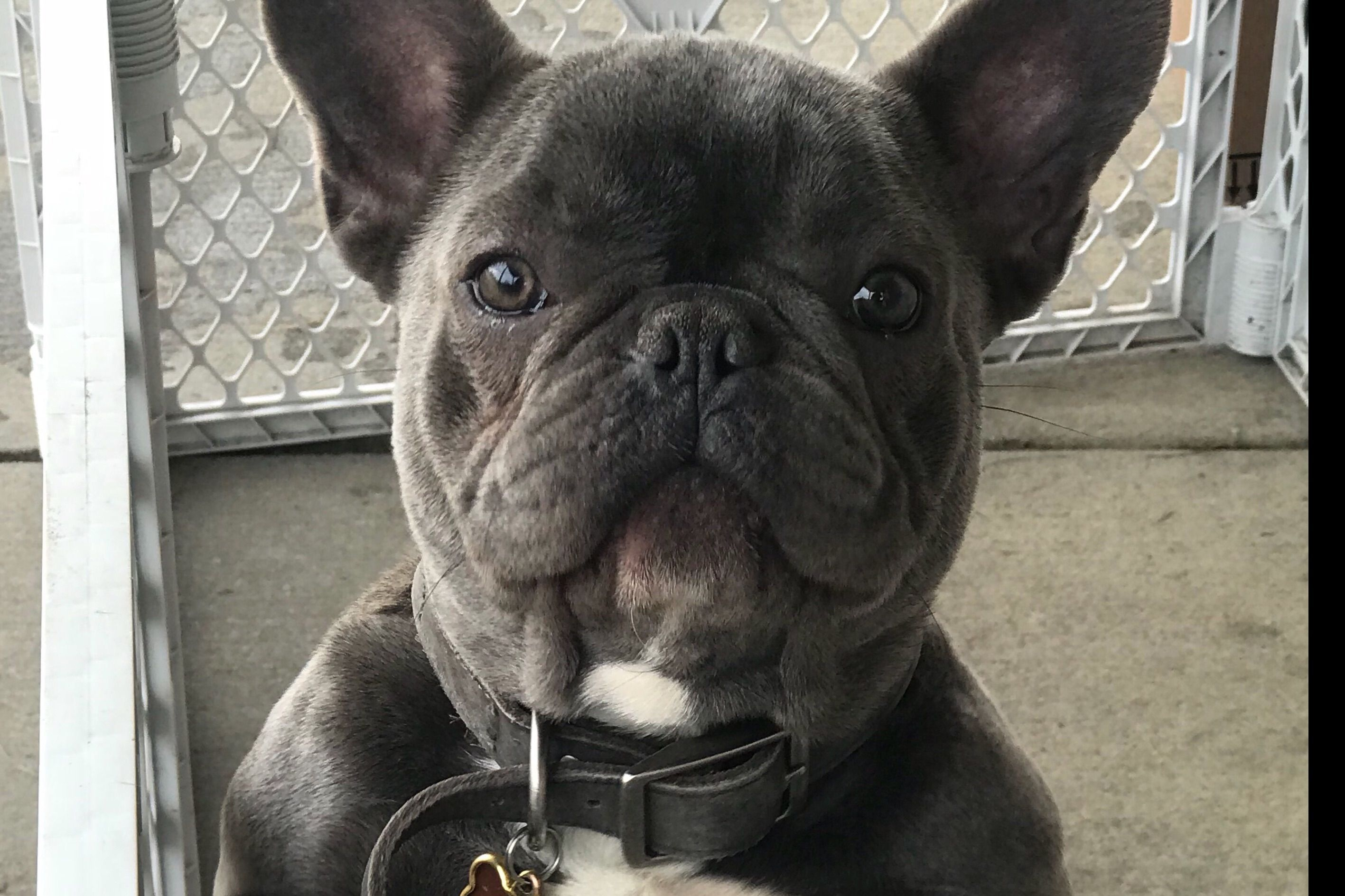 Jeanette Higashi Has Puppies For Sale On Akc Puppyfinder In 2020 Puppies For Sale Frenchie Puppies For Sale French Bulldog