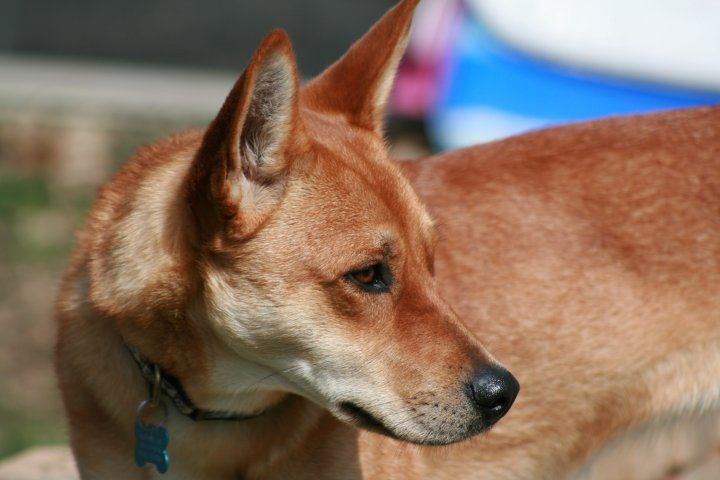 Carolina Dog Rescues Red Ginger Is The Most Common Coloring