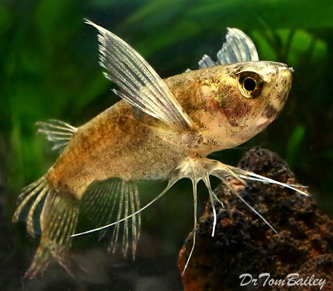 African Butterflyfish Featured Item African Butterfly Fish Petfish Aquarium Aquariums Freshwater Freshwate Aquarium Fish Butterfly Fish Tropical Fish