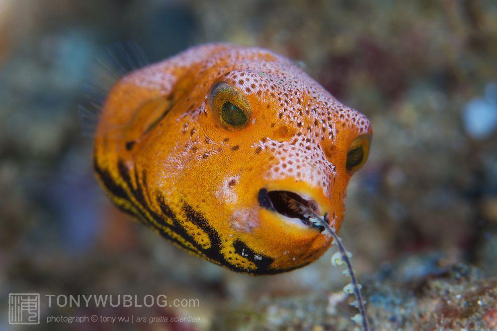 Orange Puffer Fish Bright Orange Juvenile Star Pufferfish Arothron Stellatus Eating Fish Pet Puffer Fish Underwater Photography