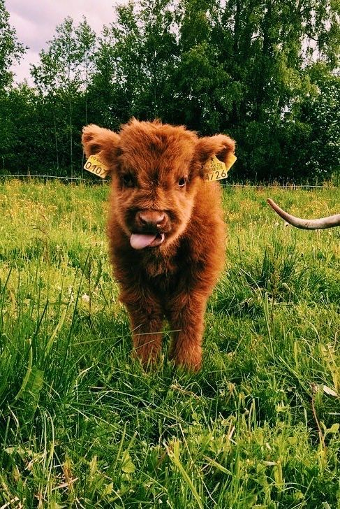 Cute Baby Cow Wallpapers