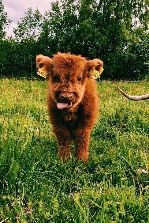 Cute Love Cow Calve Vsco Fluffy Cows Cute Baby Cow Cute Cows