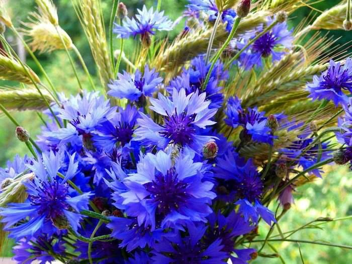 Rukkililled Cornflower Flowers Blue Flowers