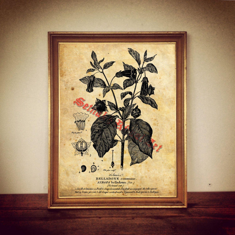 Atropa belladonna, deadly nightshade print, poisonous plant poster ...