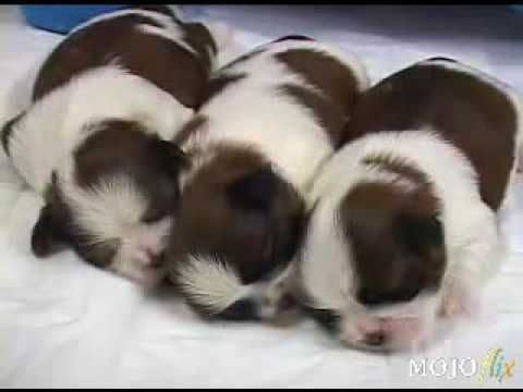 Adorable Newborn Shih Tzu Puppies And Their Mother Being Cute