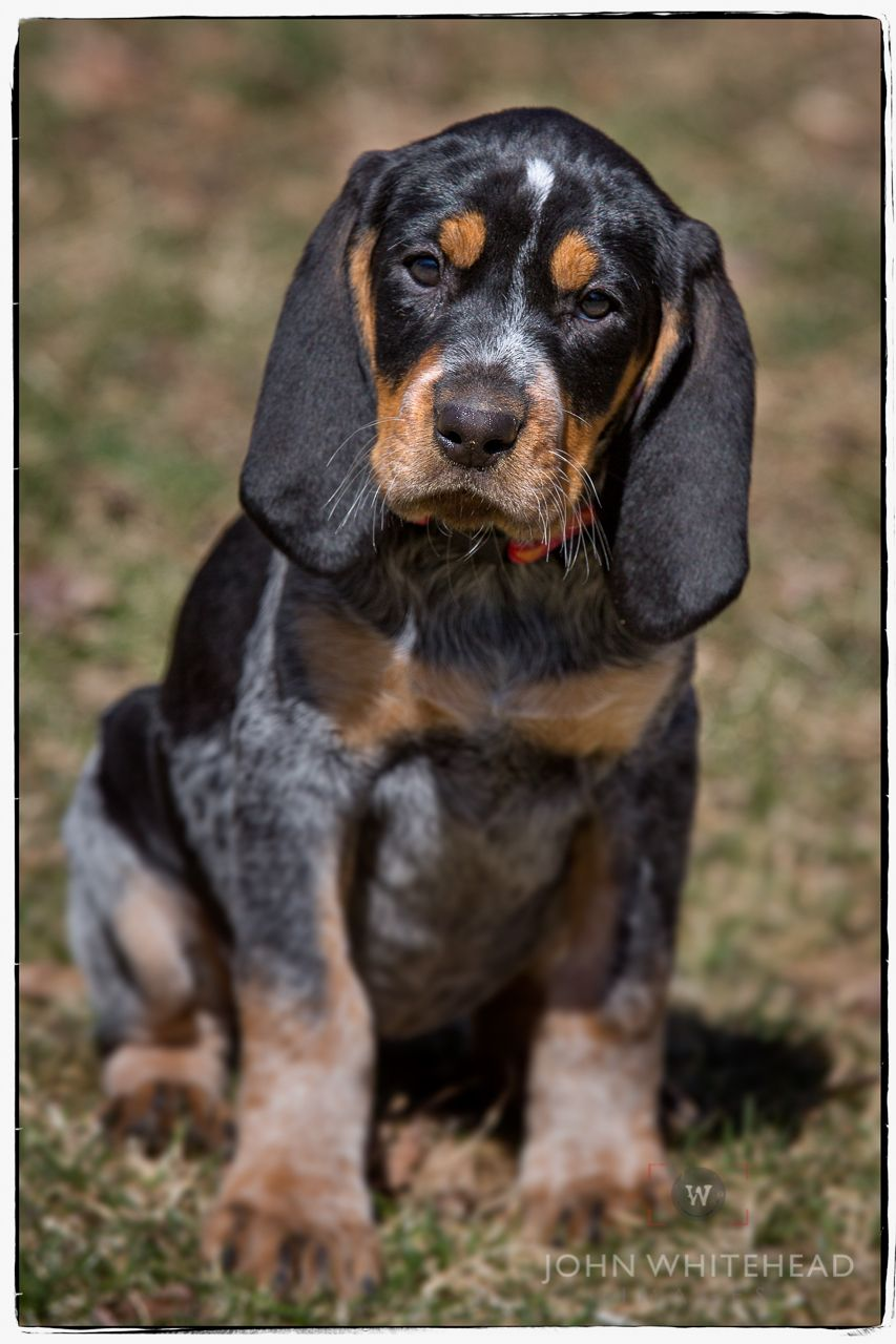 Anabelle Bluetick Coonhound Puppy With Images Bluetick