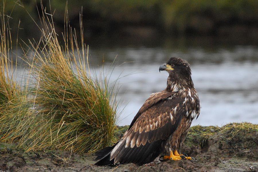 Bald Eagle At French Creek From Vancouverislandbirds Com Bald Eagle Prey Birds Of Prey