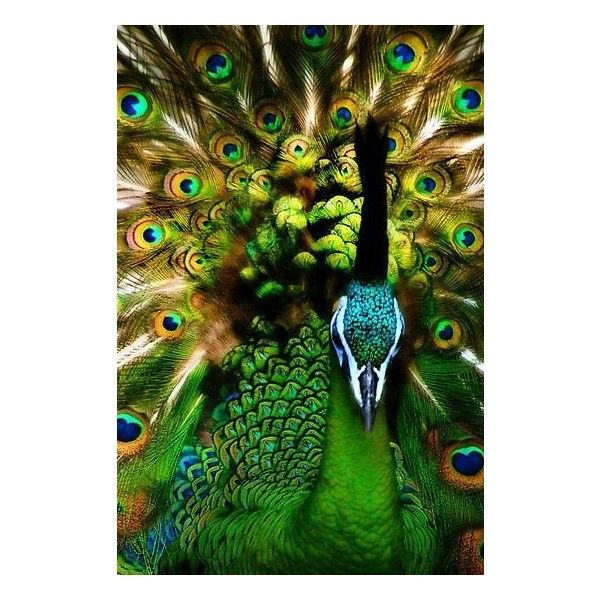 Beautiful Peacock Chattels ❤ liked on Polyvore featuring backgrounds