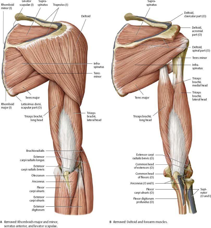 image484.jpg (810×876) | Rachel\'s Anatomy Board | Pinterest