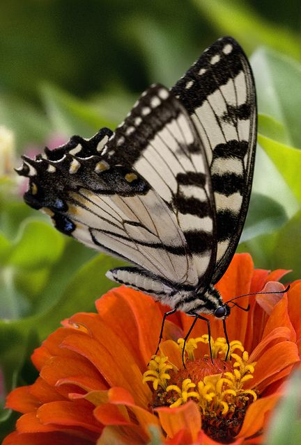 Butterfly on a Zinnia flower - Flickr - Photo Sharing!@@