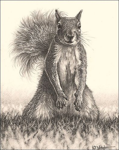 Looking for Lunch Grey Squirrel Fine Art Pencil Drawings