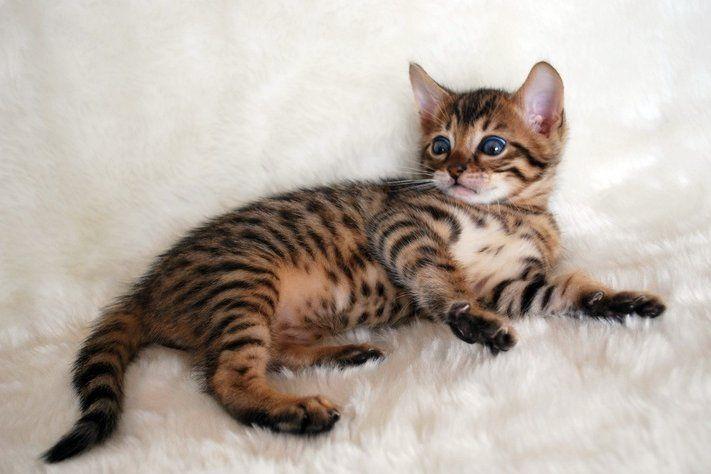 Bengal Kittens Bengal Cat Appearance Bengal Kitten Bengal Cat