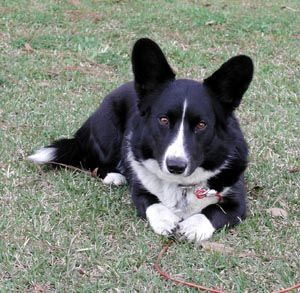 Corgi Mix Black And White Corgi Corgi Black Corgi