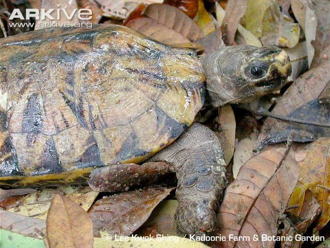 The Arakan Forest Turtle Was Long Thought To Be Extinct Having
