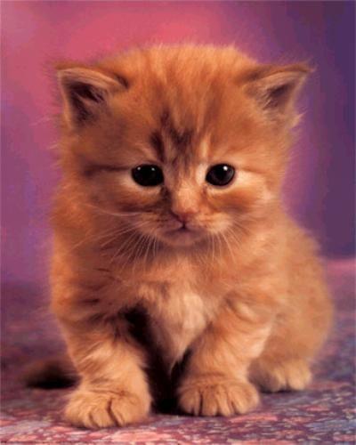 Chaton mignon roux trop mignon pinterest chatons - Photo de chaton rigolo ...