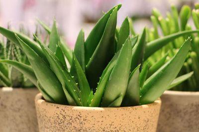Aloe Vera Pflanze Pflege Anleitung Aloe Vera Pflanze Aloe Vera Pflanze Pflege Und Pflanzen