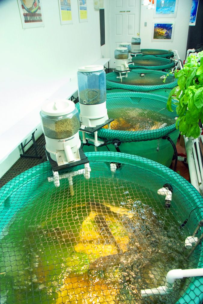 Our Fishroom where 150 Tilapia fertilize our Micro