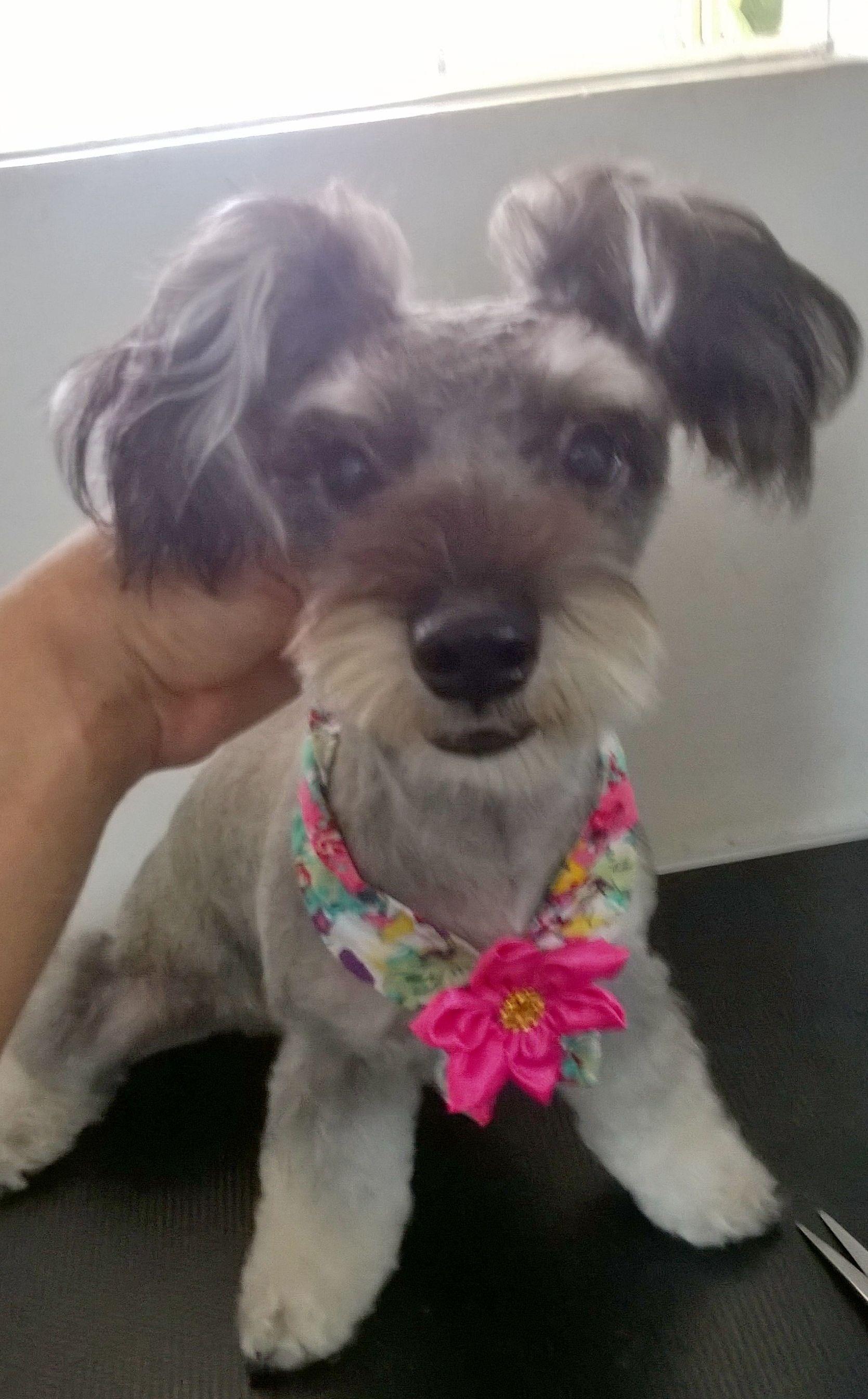 schnauzer asian style | dog stuff | schnauzer grooming