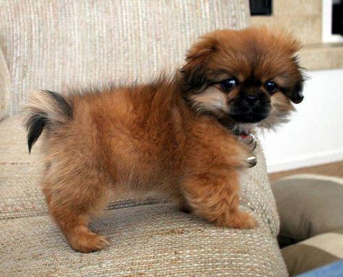 Tibetan Spaniel So Cute Hundar