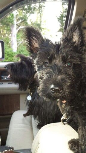 Malcolm Jesse &  Paisley Faith ( Owner Diane Rawson Hopkins - For the Love of Scotties )