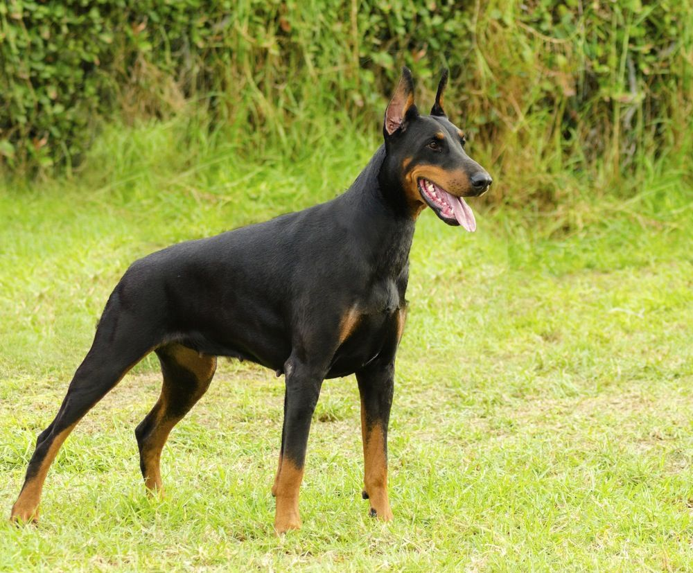 25 Best Guard Dog Breeds For Your Family Guard Dog Breeds Dog
