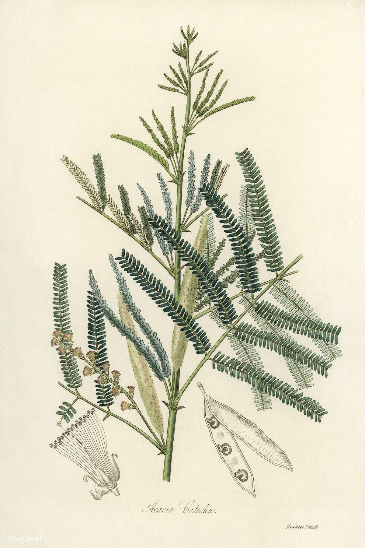 Mimosa Catechu Acacia Catechu Illustration From Medical Botany 1836 By John Stephenson And James Morss Antique Illustration Illustration Free Illustrations