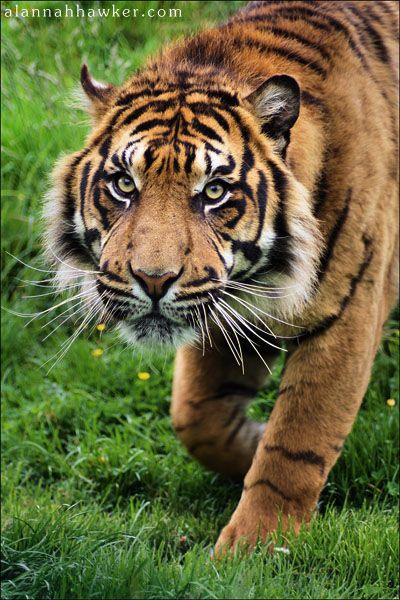Tiger by Alannah Hawker on 500px