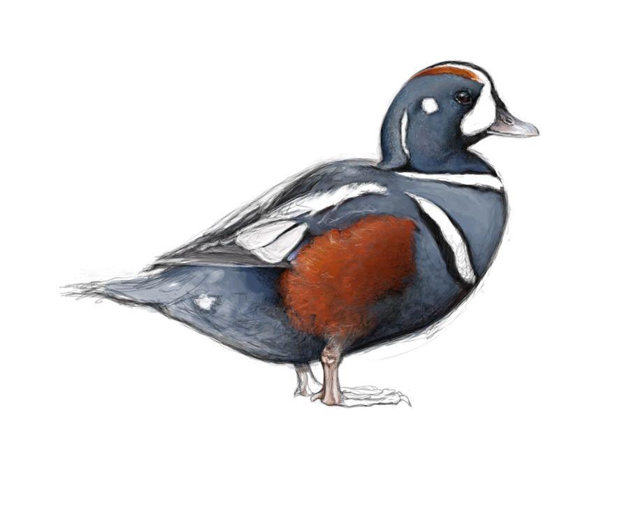 Catherine Hamilton - Harlequin Duck. | Wildlife art ... - photo#50