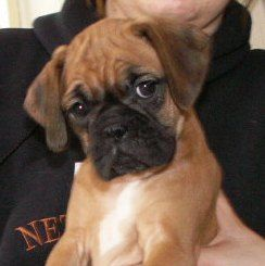 Mini Boxers I Am In Love Boxer Dogs Boxer Puppies Dogs