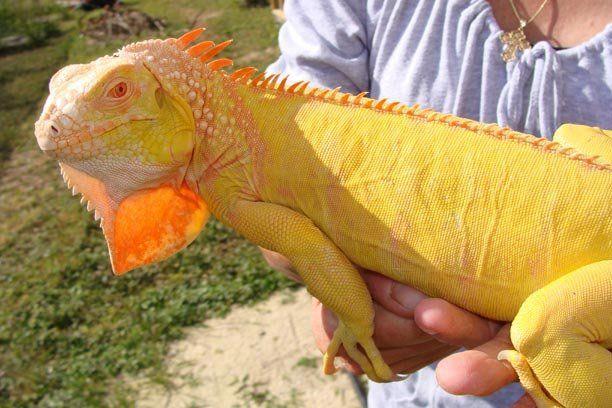 Sub Adult Albino Iguana