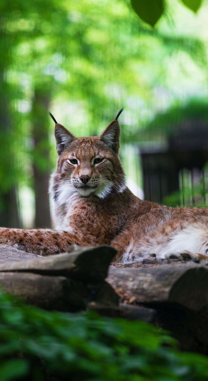 Predator Relaxed Wild Animal Lynx Wallpaper Animals Beautiful Animals Wild Cats