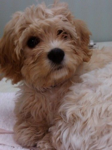 Pin By Liza Rae On Puppies To Love Cavachon Cavachon Dog Pampered Puppies