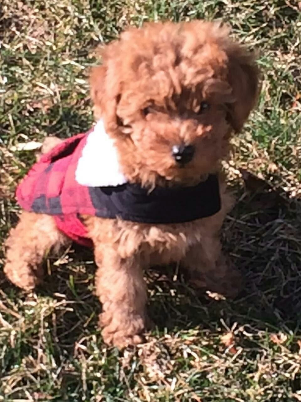 Toy Poodle Doodle Dynasty Of Tennessee Poodle Animals Doodles