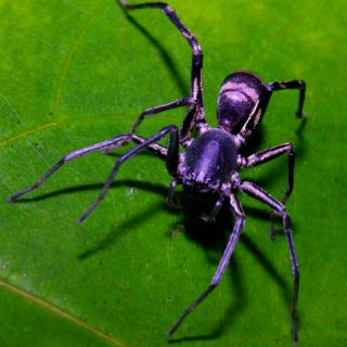 Ant Spider (via Google images)  These spiders infiltrate anthills and kill all of the ants inside.