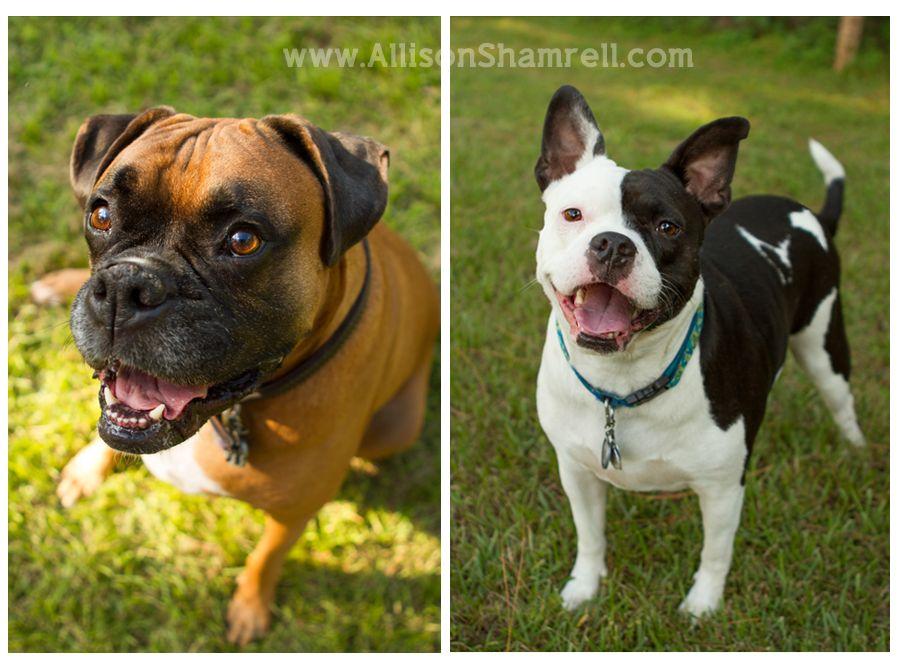 Pictures Of Boxer Pitbull Mix Dogs Mycutedog Xyz Cani