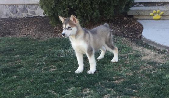 Bay Alaskan Malamute Puppy For Sale In Newburg Pa Lancaster