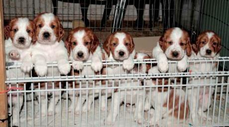 Welsh Springer Spaniel Puppies Welsh Springer Spaniel Puppies