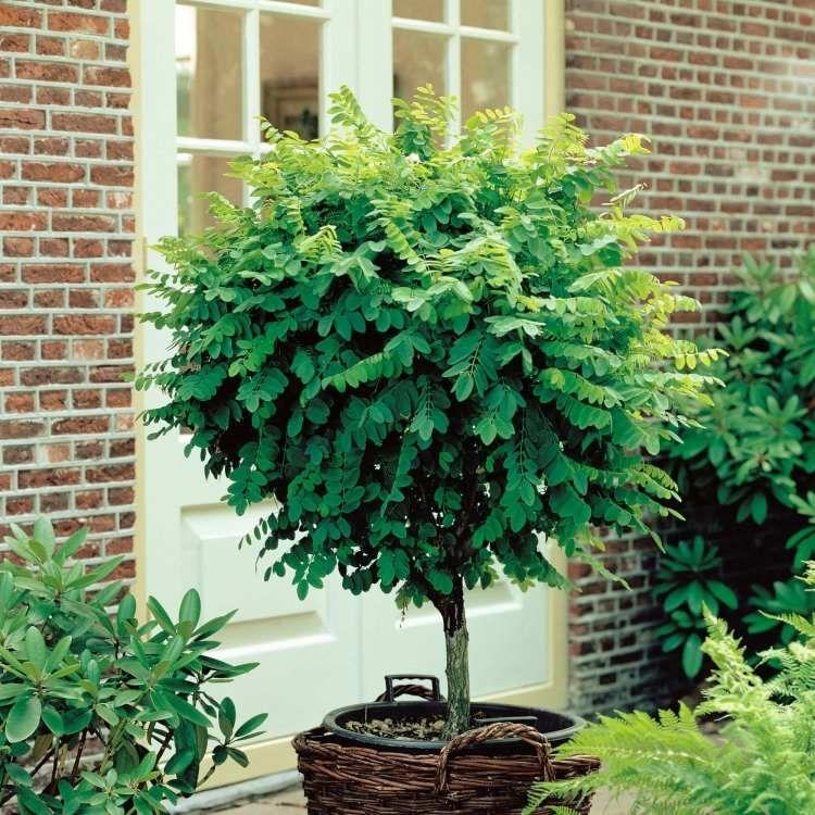 Arbuste Sur Tige Pour Balcon