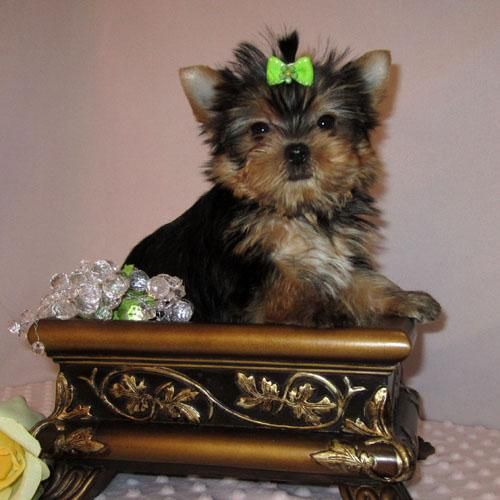Awe So Adorable With Images Cute Animals Yorkie Lovers Yorkie