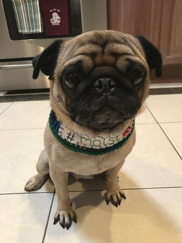Social Pug Profile Socializing Dogs Dog Stroller Pugs