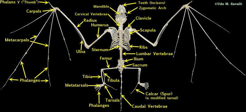 Bat Skeleton Labeled