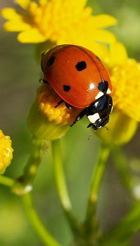 Ladybug on yellow flower ladybugs and other pinterest uur ladybug on yellow flower mightylinksfo