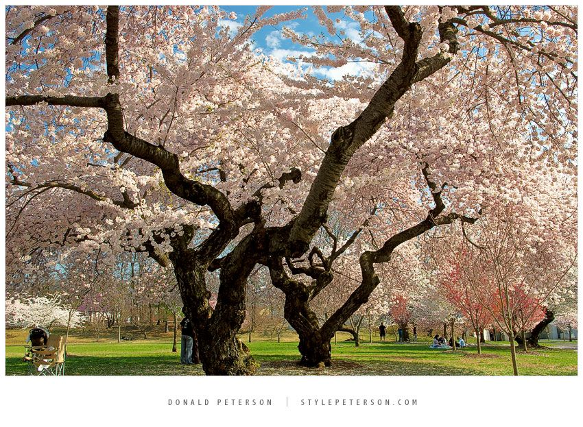 I Loved Going To Branch Brook Park In Newark Nj The Cherry Blossoms In Bloom Are A Something To Cherry Blossom Festival Cherry Blossom Season Cherry Blossom