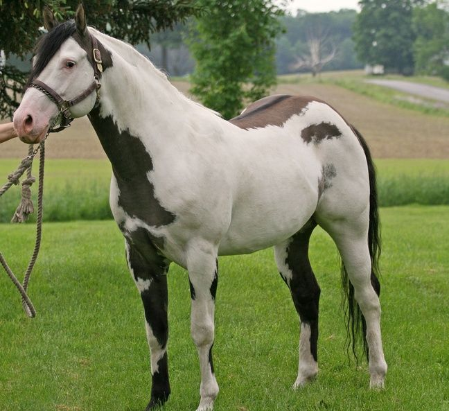 what is a medicine hat horse