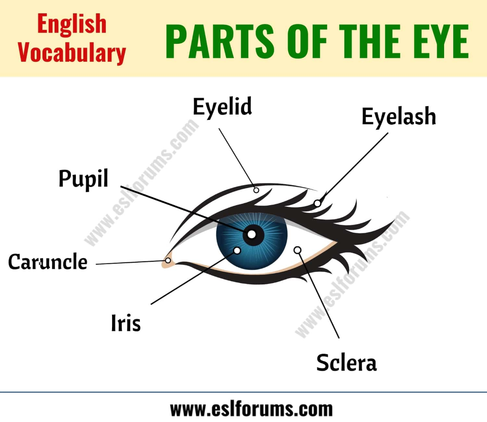 Parts Of The Eye Learn Different Eye Parts With Esl Picture Esl Forums Parts Of The Eye English Vocabulary Words Eye Parts