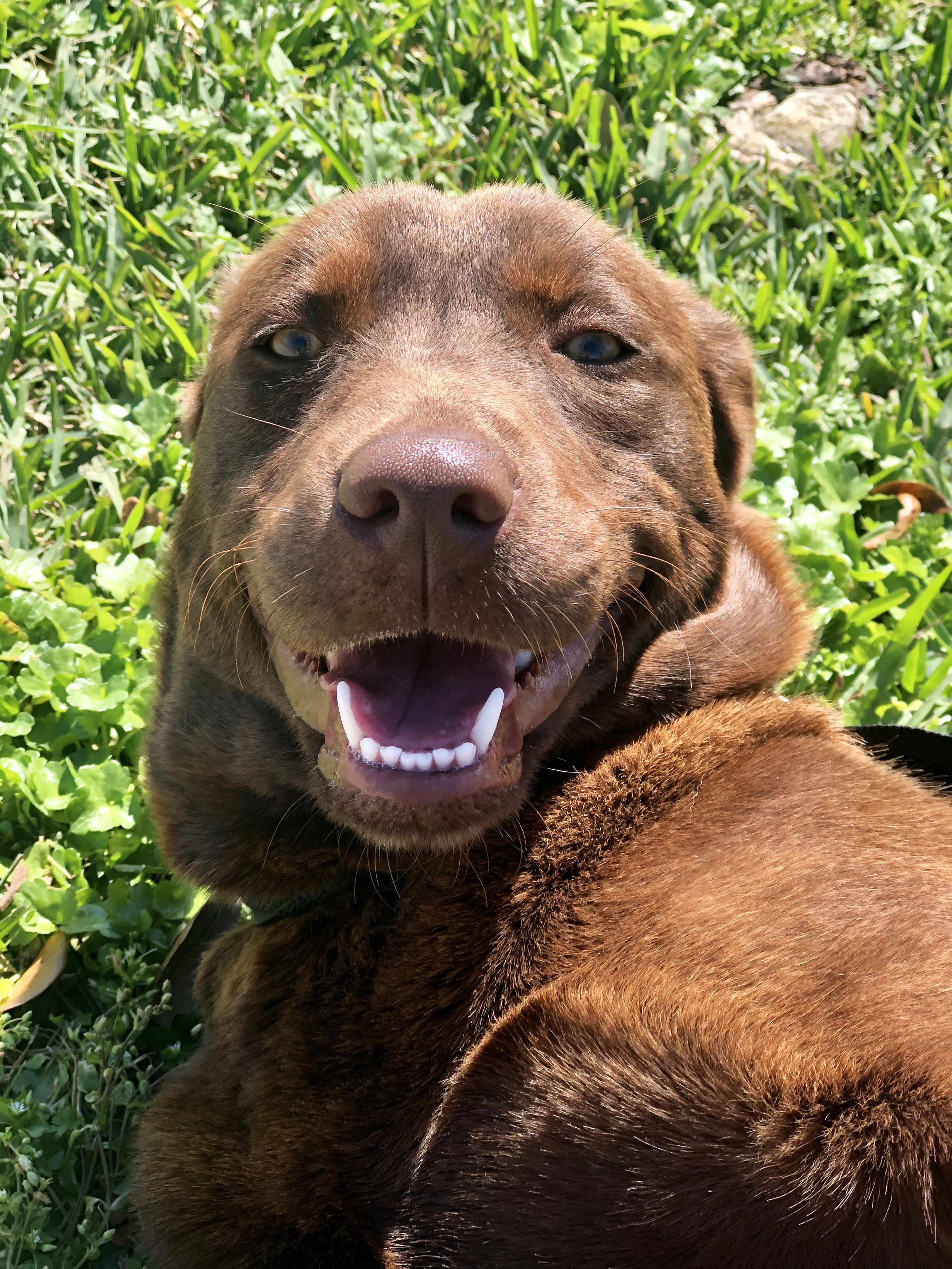 Adopt Ripley On In 2020 Help Homeless Pets Labrador Retriever Homeless Pets